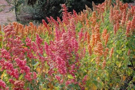 quinoa-brightest-brilliant-rainbow-450x301.jpg